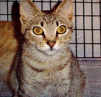 Domestic Shorthair Cat for adoption in Jefferson, North Carolina - Akela