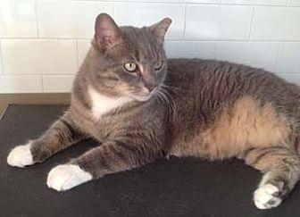 Domestic Shorthair Cat for adoption in Merrifield, Virginia - Angel