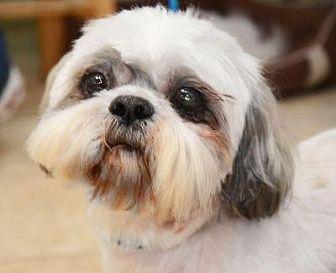 Lhasa Apso Mix Dog for adoption in Houston, Texas - Keifer Harris