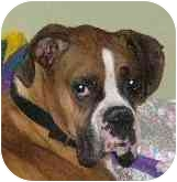Boxer Dog for adoption in W. Columbia, South Carolina - Cooper