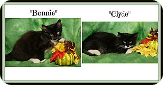 Domestic Mediumhair Kitten for adoption in Marietta, Ohio - Bonnie & Clyde (Spay/Neuter)