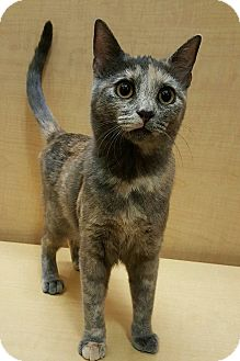 Calico Kitten for adoption in Brea, California - HOLLY
