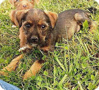 "Schnauzer (Standard)/Irish Terrier Mix Puppy for adoption in Oswego, Illinois - Snugglers ""Downy"""