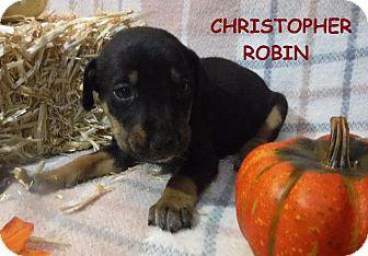 Terrier (Unknown Type, Small)/Miniature Pinscher Mix Puppy for adoption in Batesville, Arkansas - Christopher Robin