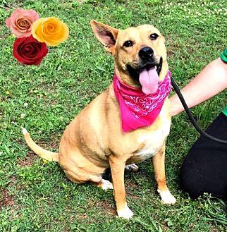 Carolina Dog/Boxer Mix Dog for adoption in Arlington, Virginia - Ember Lou