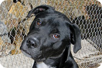 Labrador Retriever/Pit Bull Terrier Mix Puppy for adoption in Ruidoso, New Mexico - Judge