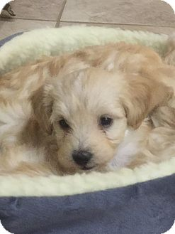 Poodle (Miniature)/Maltese Mix Puppy for adoption in Las Vegas, Nevada - Mitzi's Sydney