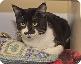 Domestic Shorthair Cat for adoption in Bellingham, Washington - Errol