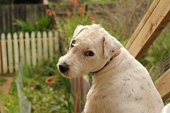 Jack Russell Terrier Dog for adoption in Alameda, California - Elvis