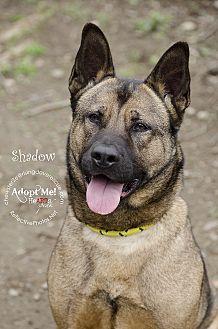 Akita/German Shepherd Dog Mix Dog for adoption in Bedford, New York - Shadow
