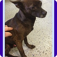 Chihuahua Mix Dog for adoption in Allentown, Pennsylvania - HAROLD
