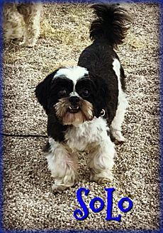 Shih Tzu Dog for adoption in Phoenix, Arizona - SOLO