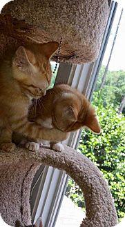 Domestic Shorthair Kitten for adoption in Dawson, Georgia - Nala
