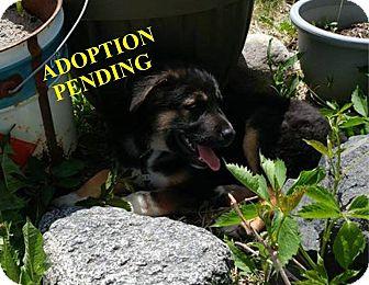 German Shepherd Dog Mix Puppy for adoption in Winnipeg, Manitoba - MONTIE