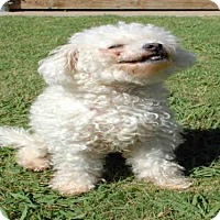 Poodle (Miniature) Dog for adoption in Plano, Texas - MO JO