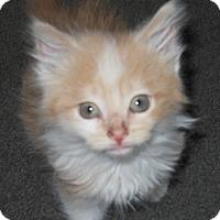 Domestic Longhair Kitten for adoption in Olivet, Michigan - Pete
