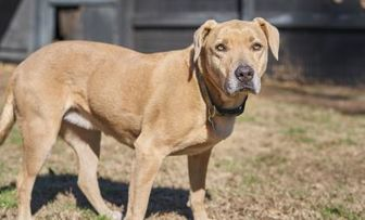 American Staffordshire Terrier Mix Dog for adoption in Ravenel, South Carolina - Brave Heart