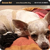 Chihuahua Dog for adoption in LaBelle, Florida - Shelly