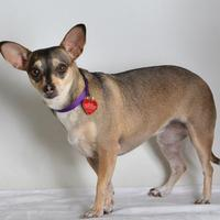 Adopt A Pet :: Sassy - Medford, OR
