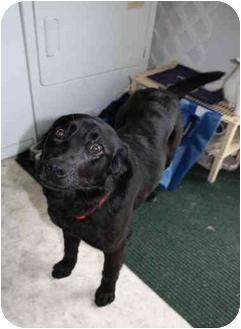 Labrador Retriever/Border Collie Mix Dog for adoption in Morden, Manitoba - Sophia