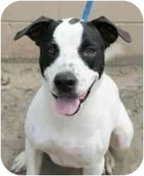 American Bulldog Mix Dog for adoption in Daisy, Georgia - Pepper