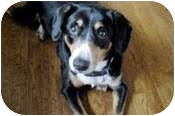 Entlebucher Mix Dog for adoption in Spring City, Tennessee - Jezebel