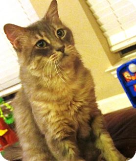 Maine Coon Cat for adoption in Houston, Texas - Mr. Kitty