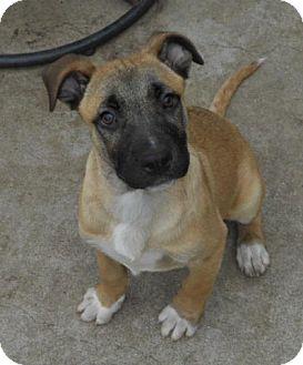 German Shepherd Dog/Belgian Malinois Mix Puppy for adoption in Torrance, California - SHELLEY