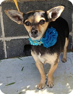 Chihuahua/Terrier (Unknown Type, Small) Mix Dog for adoption in Dublin, California - Alba
