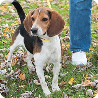 Beagle Mix Dog for adoption in New Martinsville, West Virginia - Bob