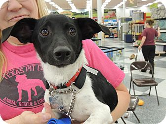 Rat Terrier/Dachshund Mix Dog for adoption in Wichita Falls, Texas - C.K.