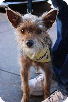 Yorkie, Yorkshire Terrier Mix Dog for adoption in Wichita Falls, Texas - Sadie