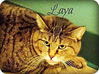 Domestic Shorthair Cat for adoption in Defiance, Ohio - Laya