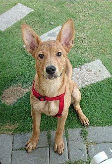 Basenji Mix Dog for adoption in Richmond, British Columbia - Balloon