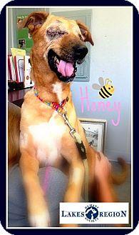 Beagle/Labrador Retriever Mix Dog for adoption in Ossipee, New Hampshire - Honey