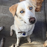 Husky/Labrador Retriever Mix Dog for adoption in Orange, California - Loki