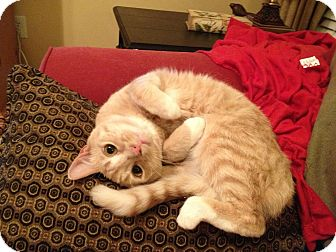Domestic Shorthair Cat for adoption in Smyrna, Georgia - Bodhi