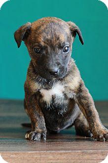German Shepherd Dog Mix Puppy for adoption in Waldorf, Maryland - Cindy