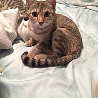American Shorthair Kitten for adoption in Santa Fe, Texas - Greta