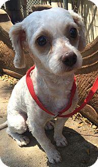 Poodle (Miniature)/Maltese Mix Dog for adoption in Santa Ana, California - Max