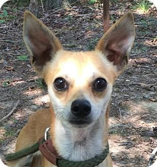 Chihuahua Mix Dog for adoption in Hagerstown, Maryland - Linnie