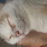 Domestic Shorthair Cat for adoption in Cincinnati, Ohio - Fred