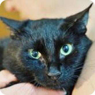 Domestic Shorthair Cat for adoption in Medford, Massachusetts - Juniper