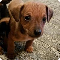 Adopt A Pet :: Barney - CHESTERFIELD, MI