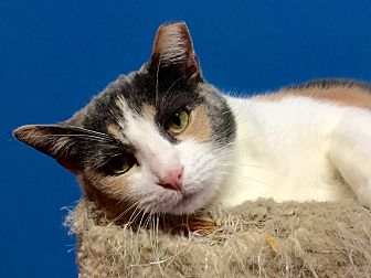 Domestic Shorthair Cat for adoption in Topeka, Kansas - Marley