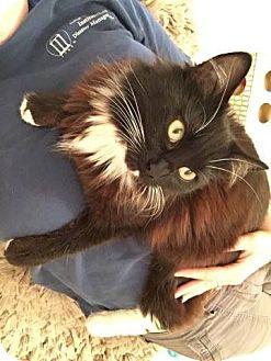 Domestic Mediumhair Cat for adoption in Athens, Georgia - Rey