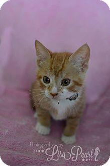 Domestic Shorthair Kitten for adoption in Calgary, Alberta - Bellini