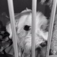 Maltese Mix Dog for adoption in St. Thomas, Virgin Islands - Cleopatra