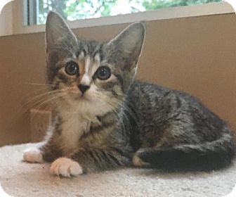 Domestic Shorthair Kitten for adoption in River Edge, New Jersey - Treble