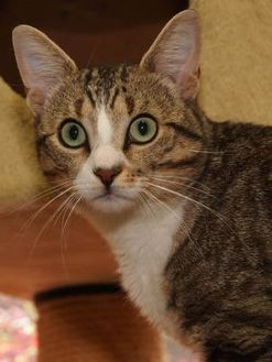 Domestic Shorthair/Domestic Shorthair Mix Cat for adoption in St. Catharines, Ontario - Cobalt